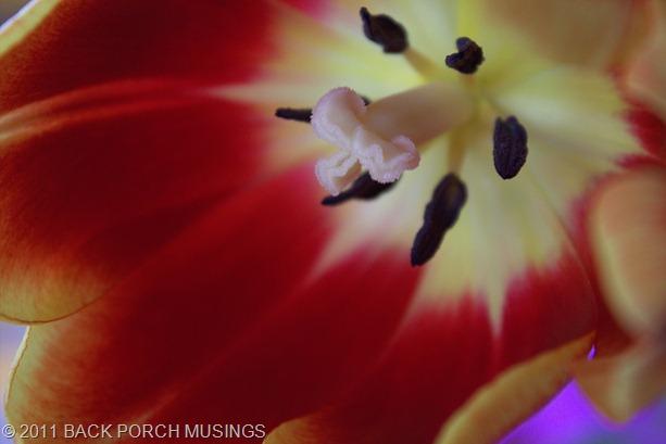 tulipAAA7