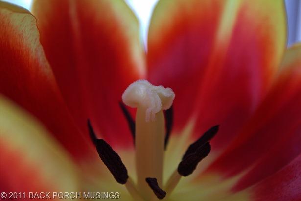 tulipAAA8