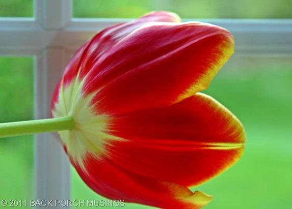 tulipAAA20