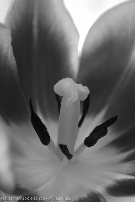 tulipsAAA1