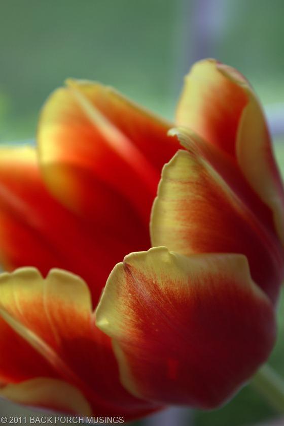 tulipAAA12