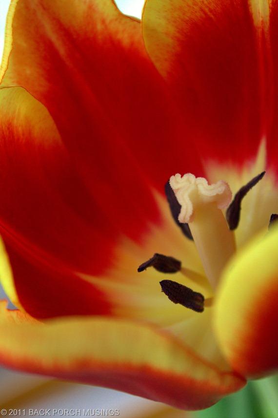 tulipAAA4
