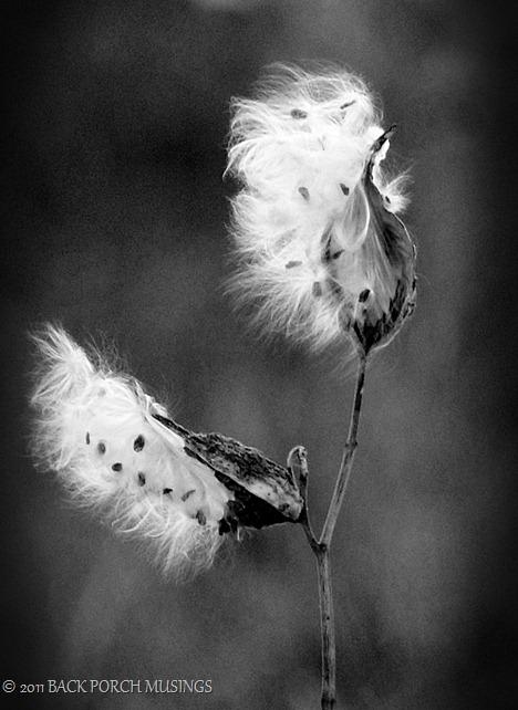 milkweed3-4