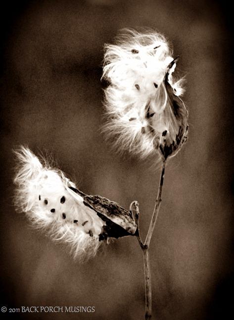 milkweed3-7