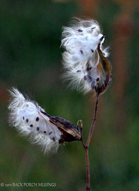 milkweed3-1a