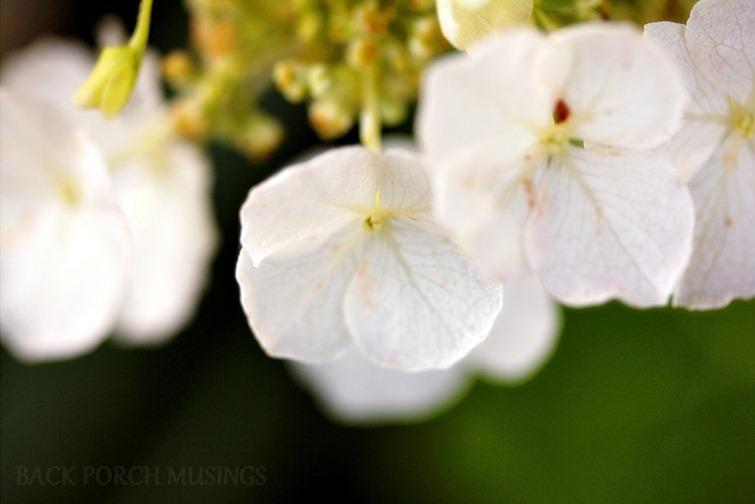 oak leaf5