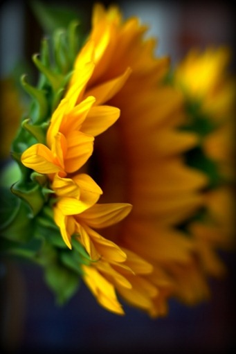 sunflower13