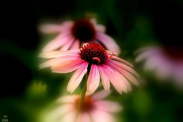 AConeflower1